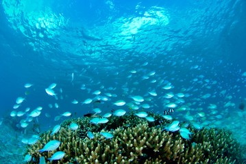 珊瑚礁とデバスズメダイの群れ
