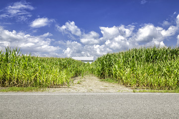Corn field behind the road