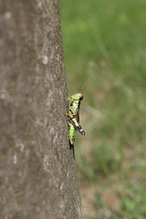 grasshopper, Podisma (sub) Alpina