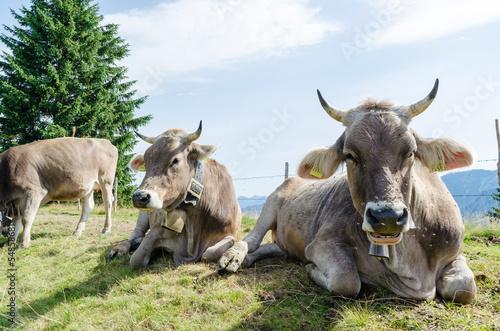 Fototapeten,kühe,kühe,bavaria,alpen