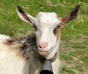 goatling with bell on the neck