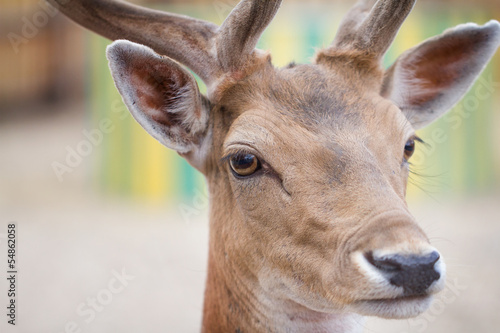 Fallow deer (Dama dama) head, close-up shot