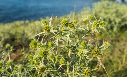 Field eryngo at the banks of a river