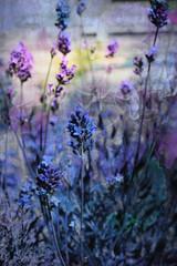 Beautiful dreamy lavender flowers