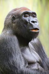 The Silverback Gorilla.