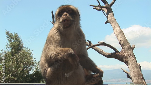Barbary ape eating
