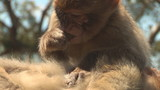 Barbary ape de-fleeing
