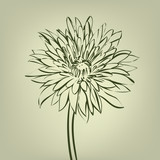 chrysanthemum mottled