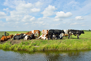 cows outdoors in meadow