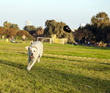 Labrador Fetching Chew Toy in Park poster