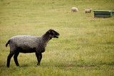Black faced Sheep on farm