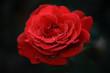 Red rose flower macro closeup