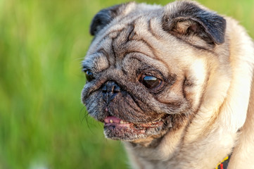 old pug dog  portrait close-up