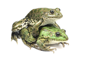 mating of two frogs