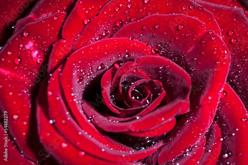 Red rose with water drops. Shallow depth of field.