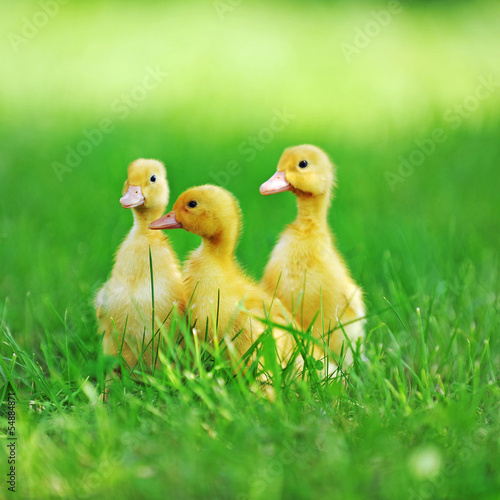 three fluffy chicks