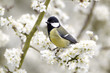Great tit, Parus major, single bird on blossom
