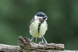 Great tit, Parus major, with growth on head