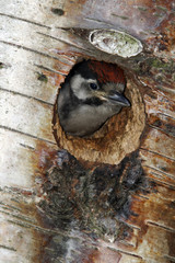 Great-spotted woodpecker, Dendrocopos major,  youngster