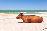 a cow relaxes on the beach