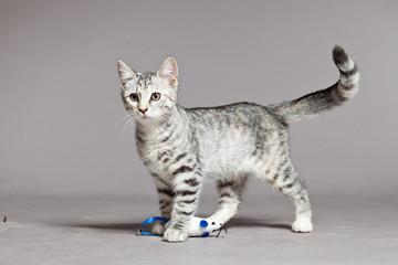 Cute tabby kitten. Studio shot against grey.