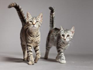 Two cute tabby kittens walking towards camera. Studio shot again