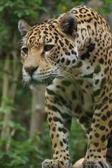 Jaguar - Panthera onca