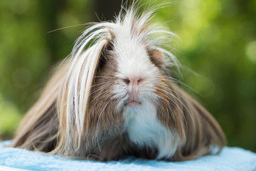portrait d'un cochon d'inde péruvien