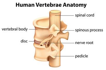 Human Vertebrae Anatomy