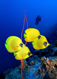 Scuba diver looks at group of  Masked Butterfly Fish