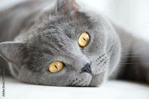 close-up of snout of gray british cat