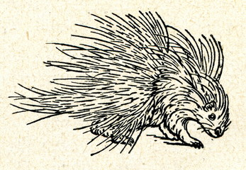 Old World porcupine (Hystricidae)