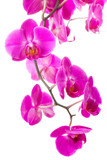 Fototapety pink flowers orchid
