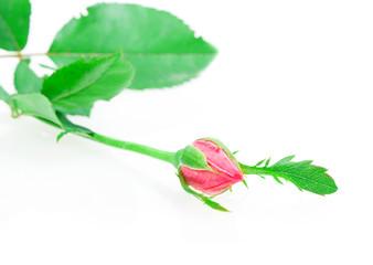 rosebud rose