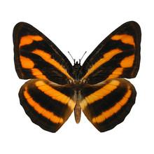 Burmese Lascar Butterfly
