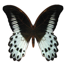 Marble Swallowtail Butterfly