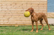 A young vizsla holding a ball