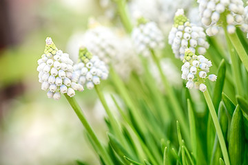 A blooming white Muscari flower