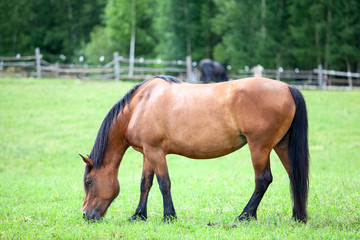 Domestic brown horse on green field