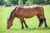 Chestnut horse grazing in the meadow. Full length view