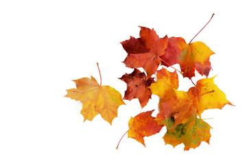 Herbstlaub, Ahornblätter isoliert
