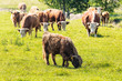 Herd of cows with some highland cattle grazing