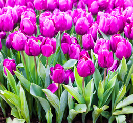 colorful tulips. Beautiful spring flowers. background of flowers