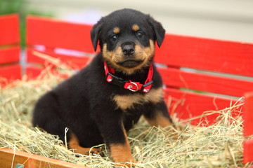 Rottweiler Puppy Sits In Red Wagon Filled With Straw
