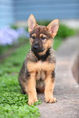 A German Shepherd Puppy Sits Alert in a Garden