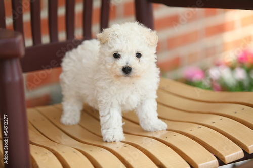 Bichon Frise Puppy on Wooden Chair