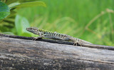 Lizard on Wood