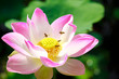 Bee with pink lotus
