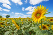 sunflowers on a field and blue sky