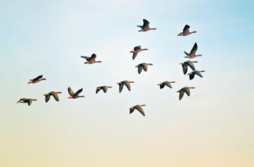 Wild Pilgrim geese at sunset